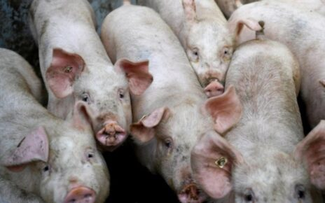 African swine fever that killed pigs spread from China